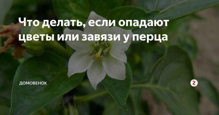 Почему у перцев опадают цветы и завязи в теплице и открытом грунте, что делать
