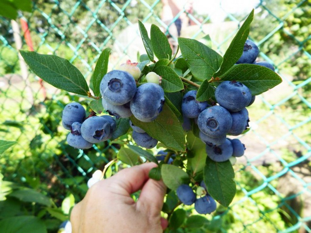 Сорта садовой голубики, которые вам непременно понравятся