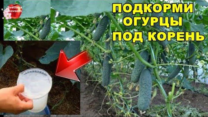 Посадка арбузов в открытый грунт: современный подход
