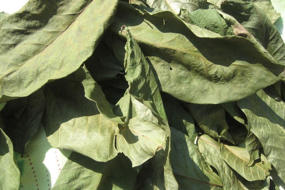 Болезни и вредители грецкого ореха, почему не плодоносит и методы лечения