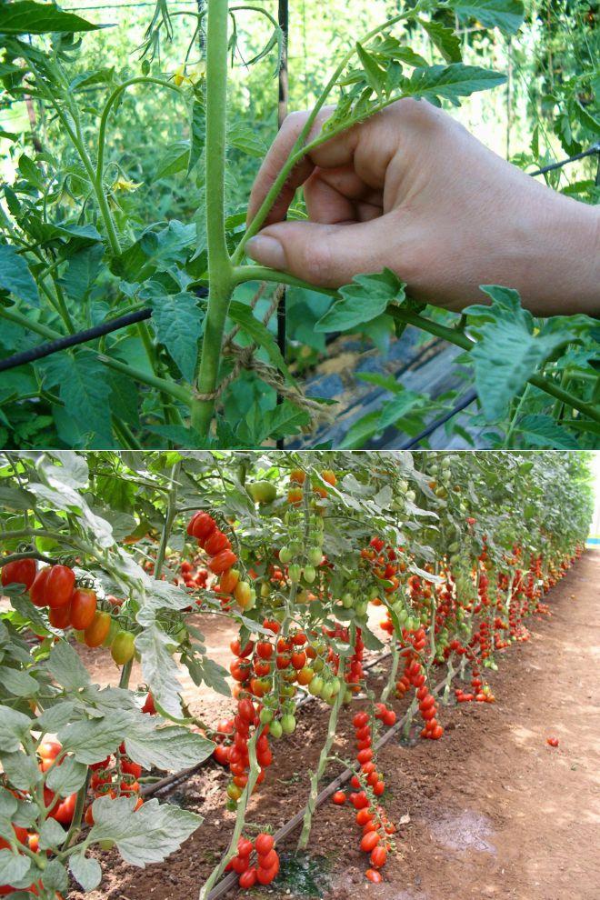 Пасынкование помидоров - как правильно пасынковать томаты