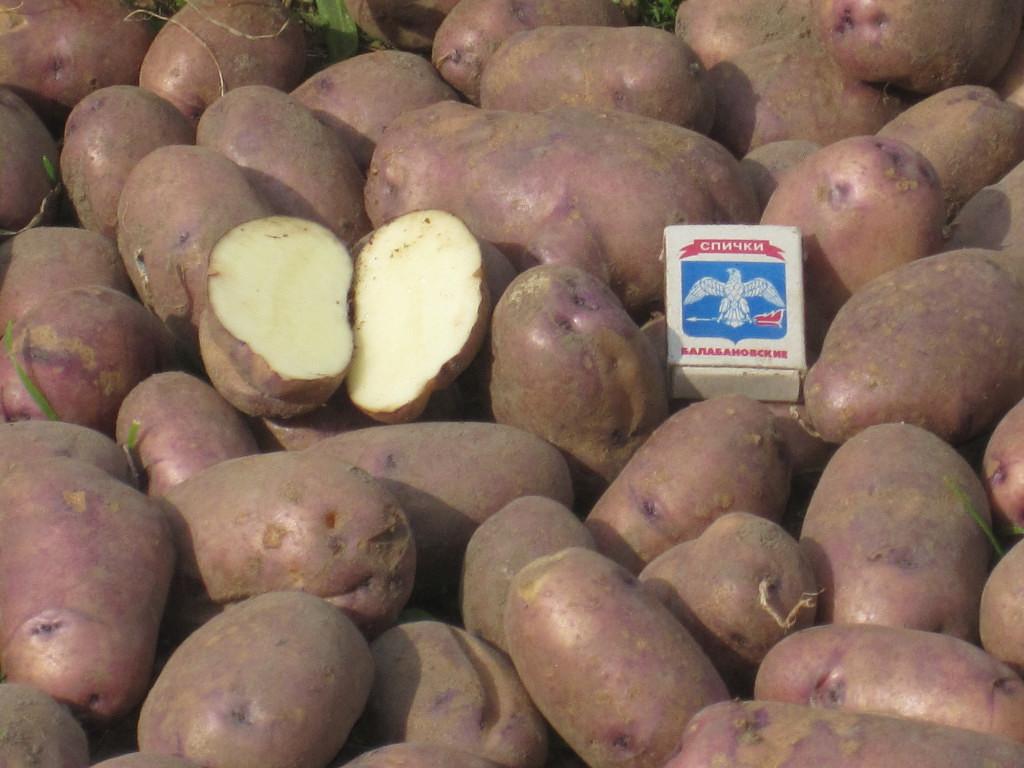 Картофель сорта коломбо: характеристика и описание сорта, фото и отзывы