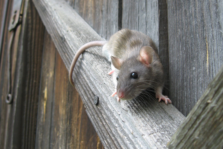Борьба с грызунами на даче: мыши и крысы