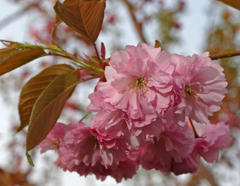 Особенности выращивания японской мелкопильчатой вишни