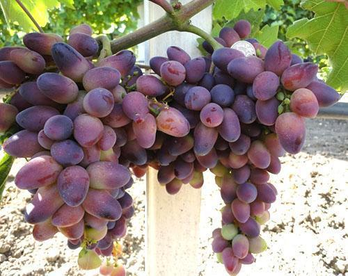 Виноград сорта «тайфи» и его разновидности