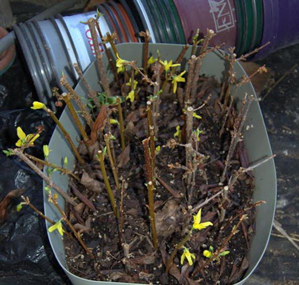 Размножение барбариса черенками весной и летом