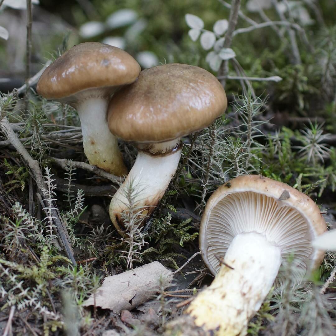 Гриб мокруха пурпуровая (chroogomphus rutilus): фото и описание