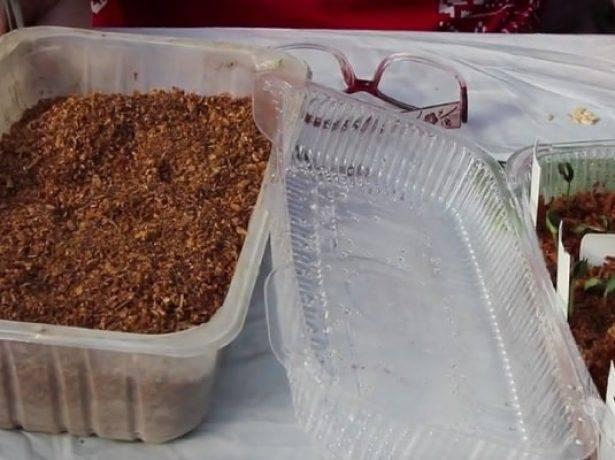Рассада огурцов в опилках, проращивание семян