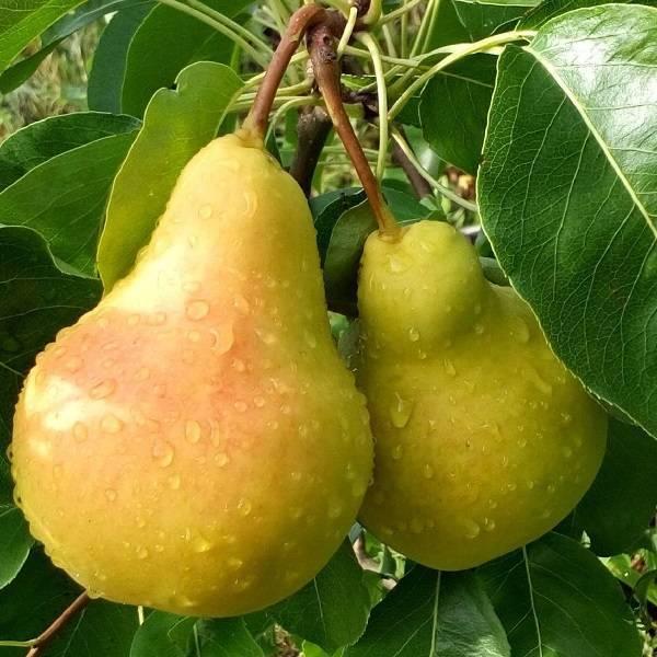 Сорт груши лада: описание груши, посадка и уход за растением