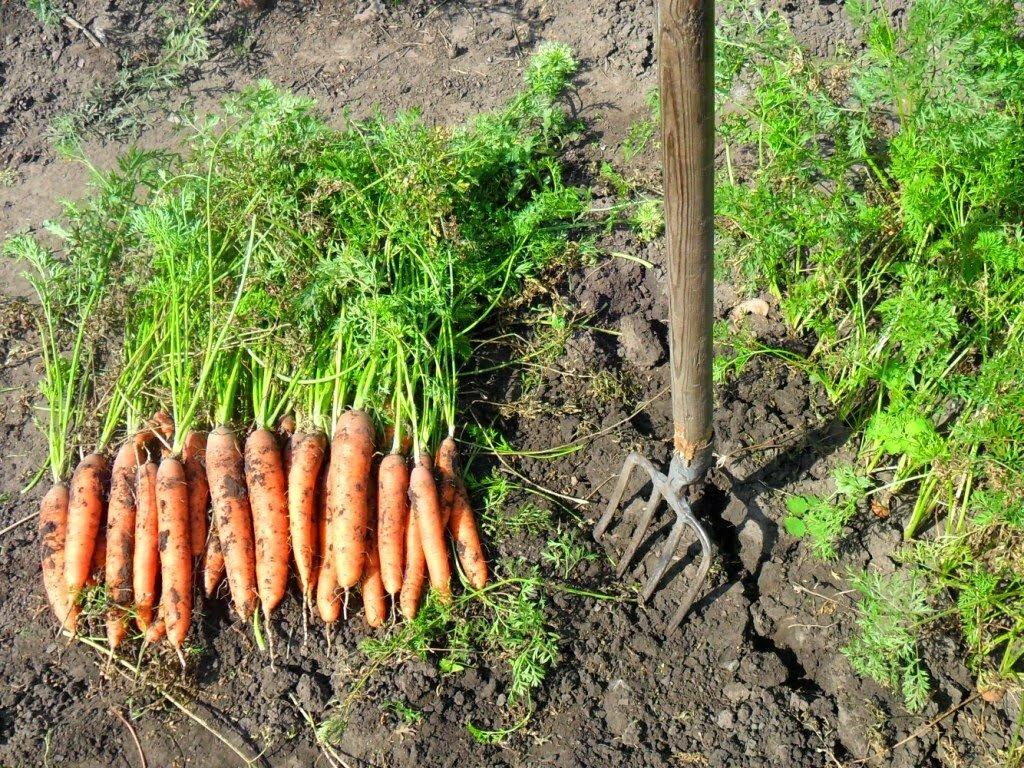 Когда убирать лук посаженный под зиму в 2021 году: сроки уборки по регионам и условия хранения урожая