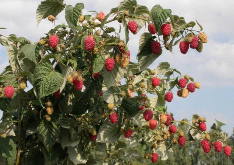 Малина полька: описание сорта с характеристикой и отзывами, особенности посадки и выращивания и ухода, фото