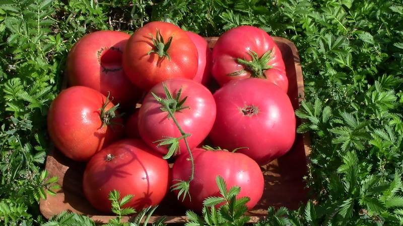 Описание сорта томата розализа, его характеристика и выращивание - всё про сады