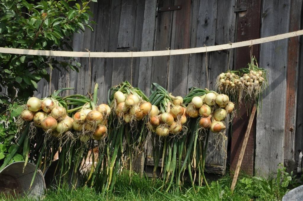 Дождливое и холодное лето: как победить болезни в саду и огороде