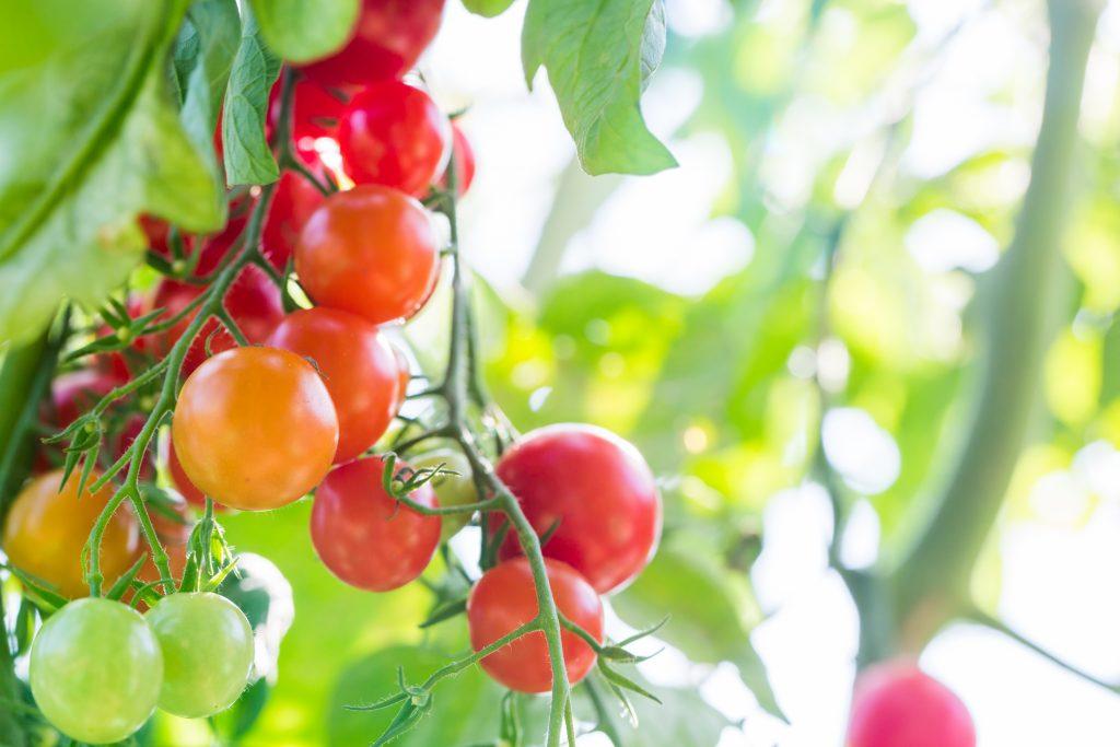 И не ягода совсем, а помидор! достоинства и недостатки томата сорта «черри клубничный» f1