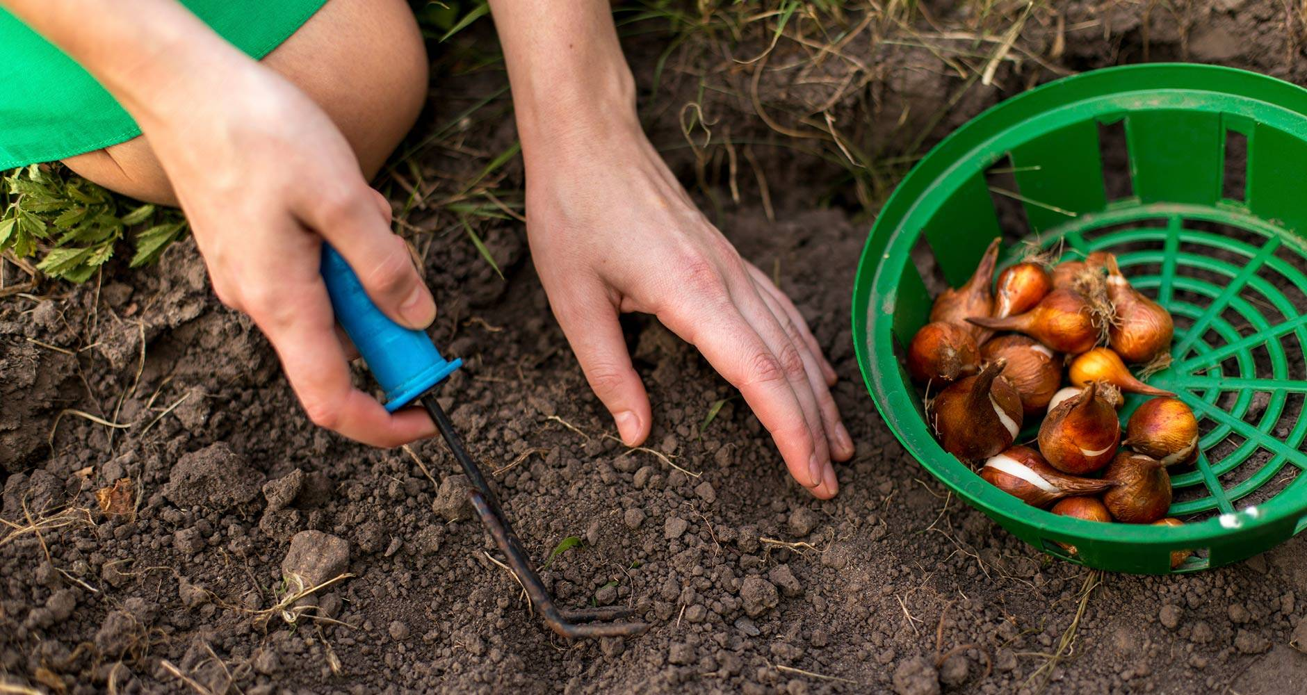 Посадка лука весной в открытый грунт: легкий способ