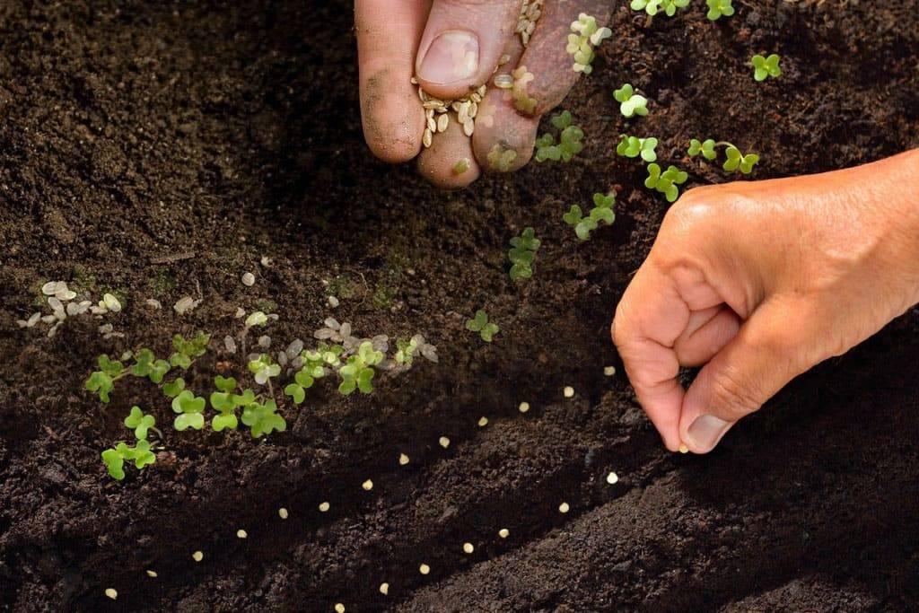 Посев петрушки под зиму в открытый грунт: можно ли, когда и как сажать, выбор сорта