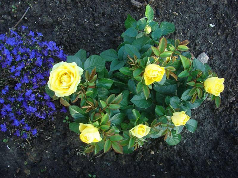 Адаптация комнатных роз. уход за розой в домашних условиях. фото — ботаничка.ru