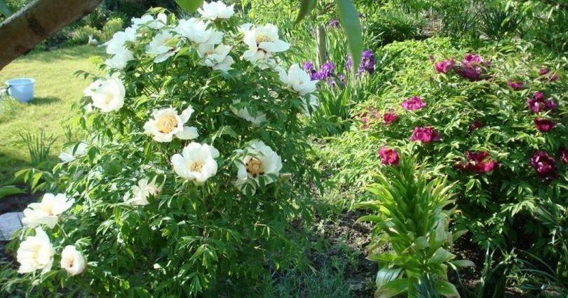 Пион древовидный: сорта с названиями и фото, правила посадки и ухода за цветами