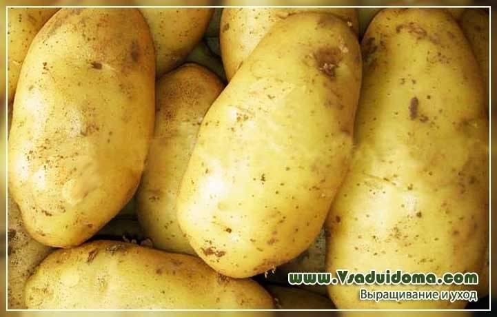 Картофель чародей: топ правила выращивания, описание, фото
