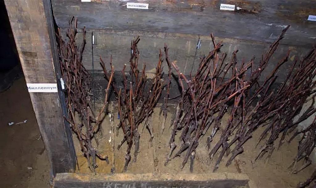 Как заготовить и сохранить черенки винограда до весны в домашних условиях