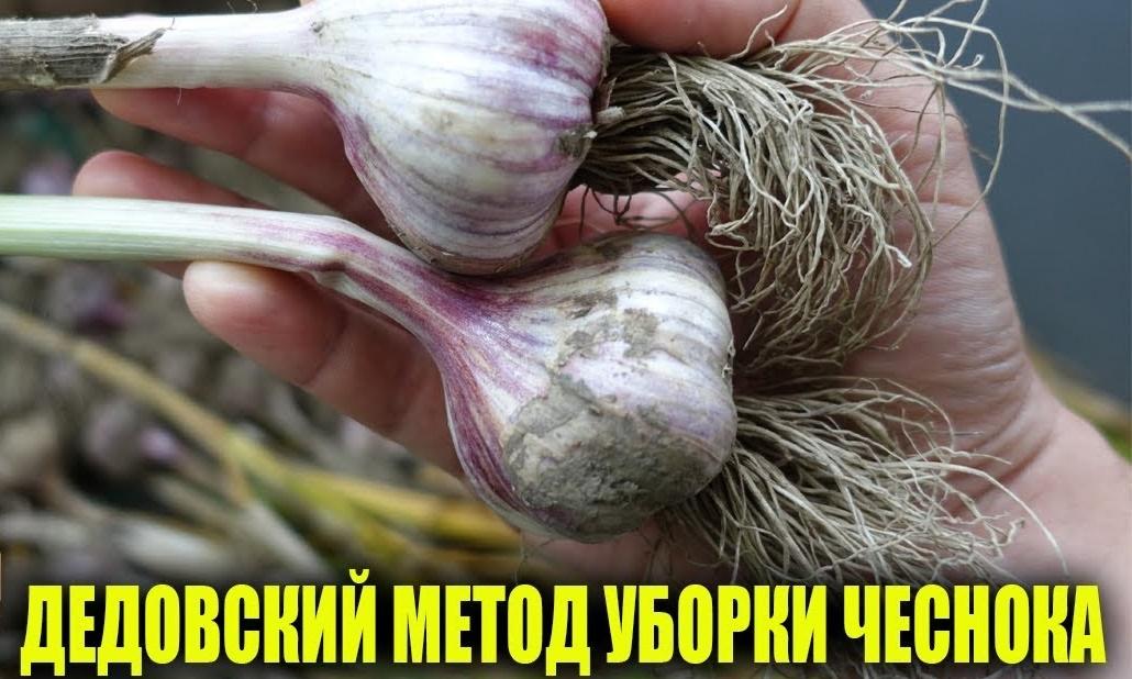 Когда убирать озимый чеснок в сибири: озимый, яровой