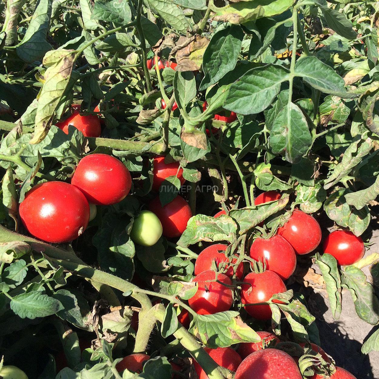 Томат солероссо (f1): характеристика и описание сорта помидоров, отзывы огородников и фото полученного урожая