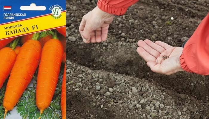 Самый урожайный сорт моркови канада f1 - всё о землеводстве
