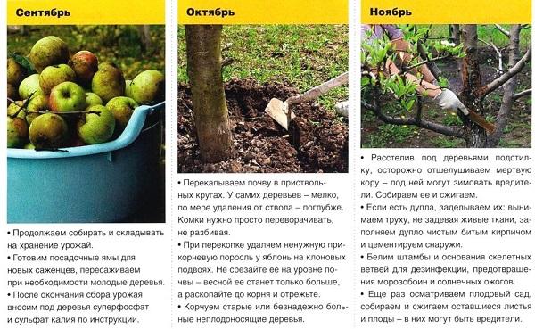 Характеристики яблок аркадик