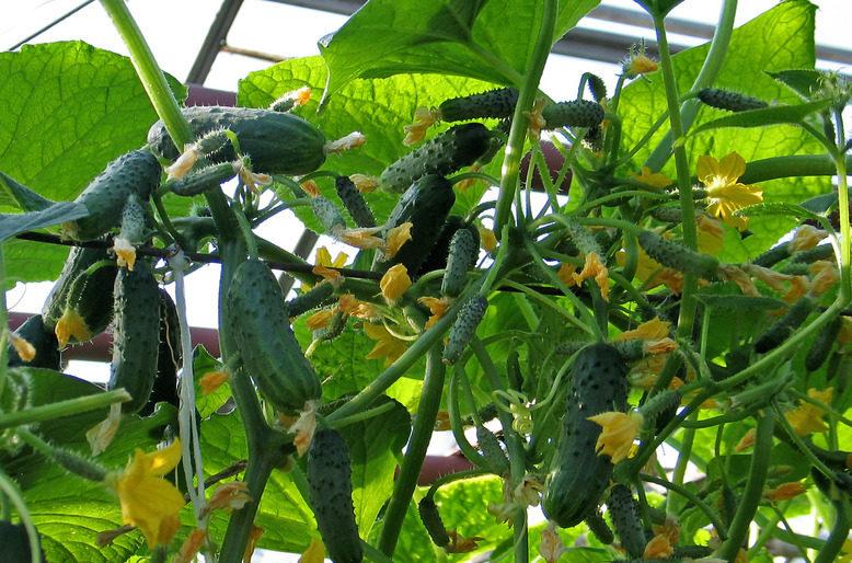 Балконные томаты: лучшие сорта и гибриды, правила выращивания на балконе, лоджии, подоконнике