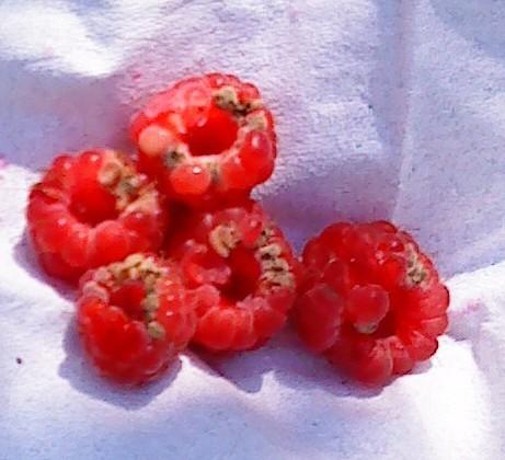 Почему ягоды малины не растут: в чем причина и что делать