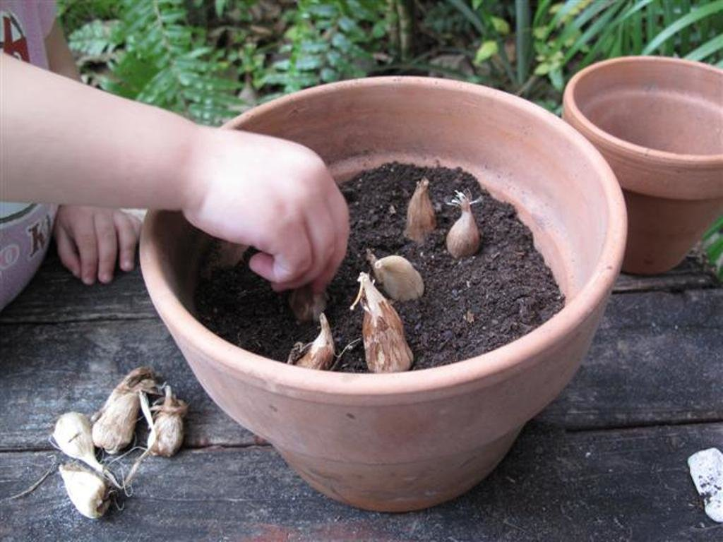 Фрезия - выращивание и уход в открытом грунте, фото   сажаем сад