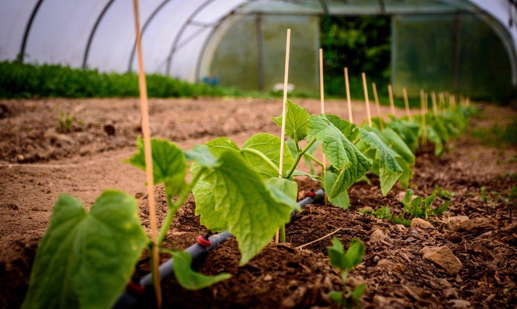 Подкормка огурцов в открытом грунте   вырасти сад!