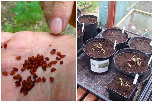 Выращивание голубики садовой из семян, посадка в грунт, размножение и правильный уход (фото и видео)