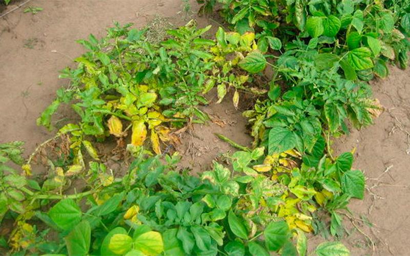 Почему желтеет ботва и листья у картофеля снизу: причины, что делать
