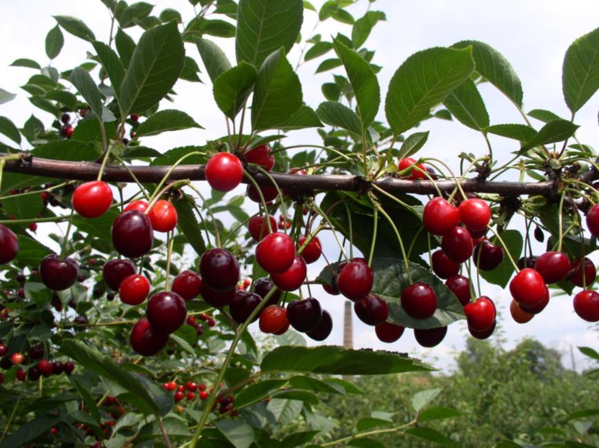 Лучшие сорта вишни для средней полосы россии: описания, фото, сравнительная таблица