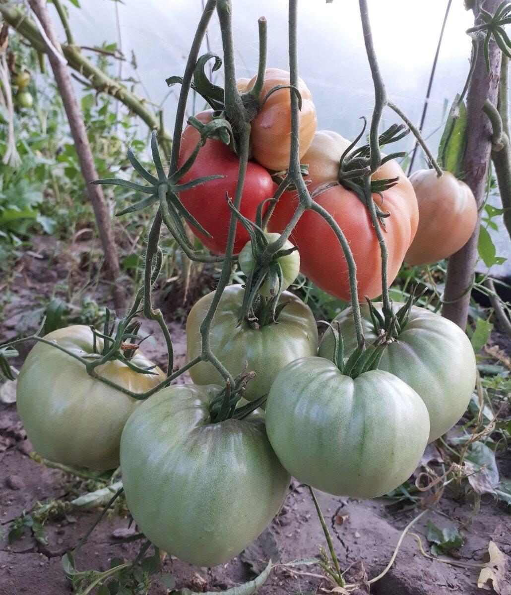 """Томат """"мазарини"""": характеристика и описание сорта, урожайность, отзывы, фото"""