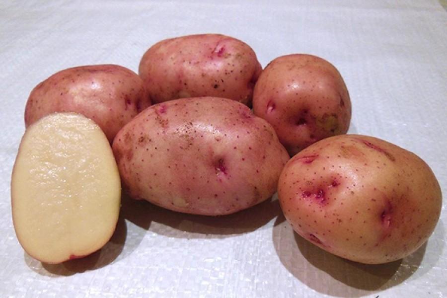 Характеристика картофеля сорта чародей