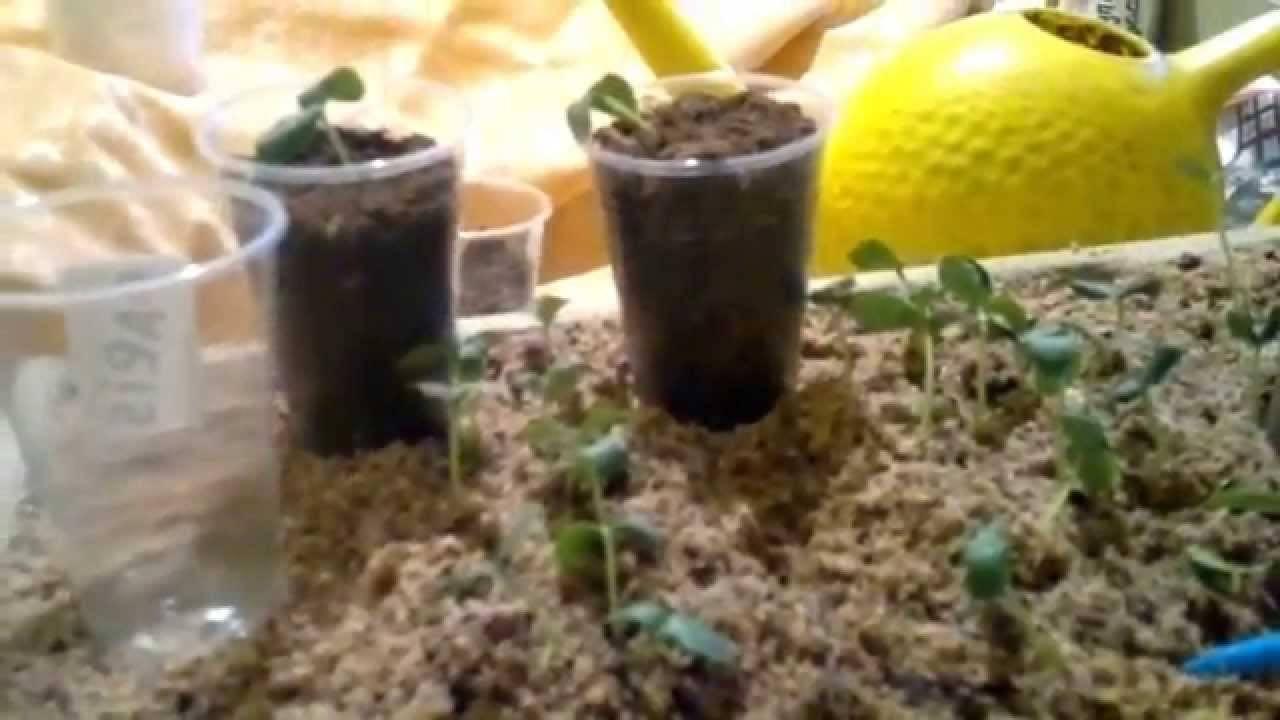 Выращивание огурцов в ведре: правила и технология посадки, видео и фото