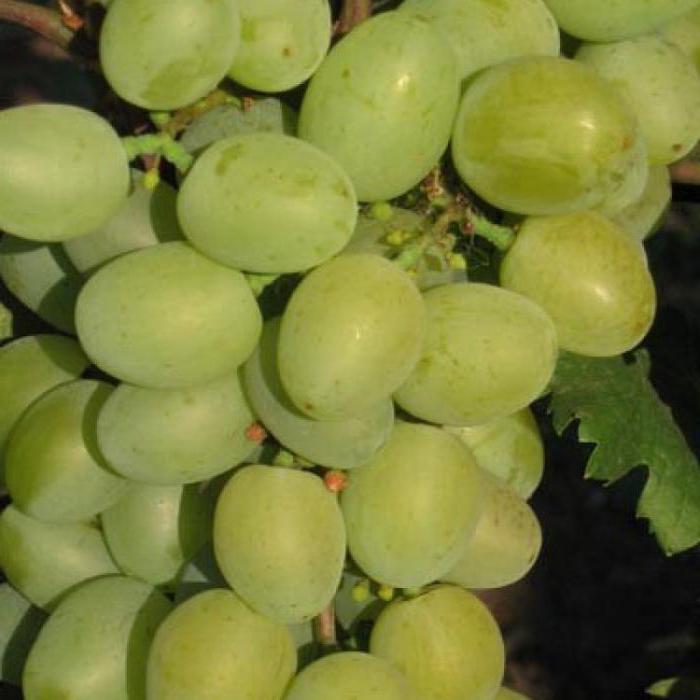 Сорт винограда «галахад»