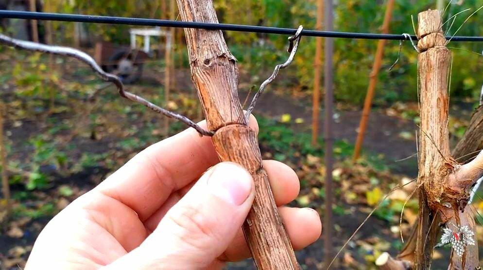 Как подвязать виноград правильно - схема, способы и советы экспертов по подвязке (115 фото + видео)