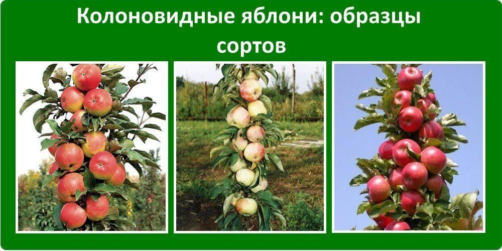 Яблоня: посадка и уход, обрезка, прививка, описание сортов, фото