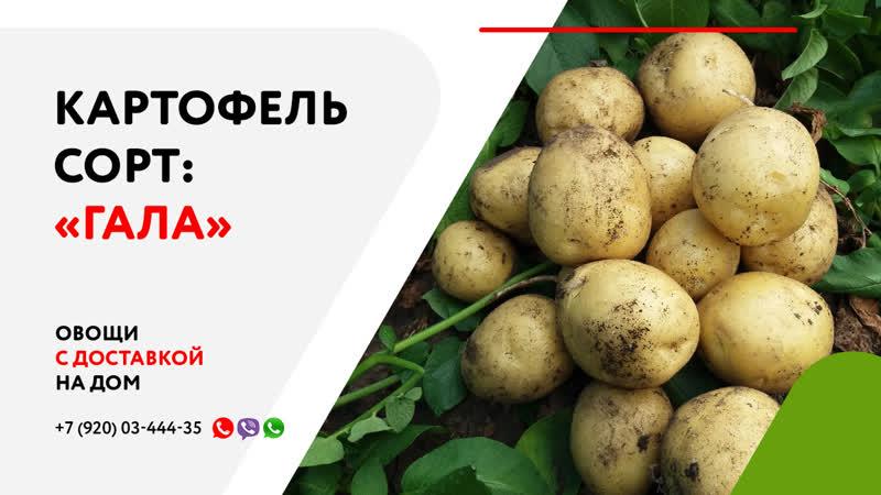 Картошка гала: описание сорта, фото и отзывы