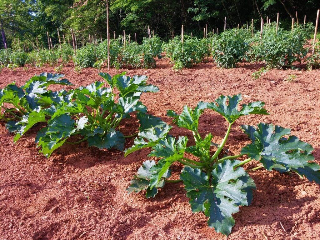 Выращивание патиссонов в открытом грунте: посадка и уход