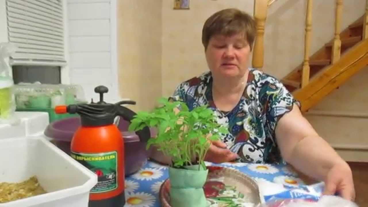 Как пикировать рассаду томатов. что такое пикировка, с какой целью ее проводят