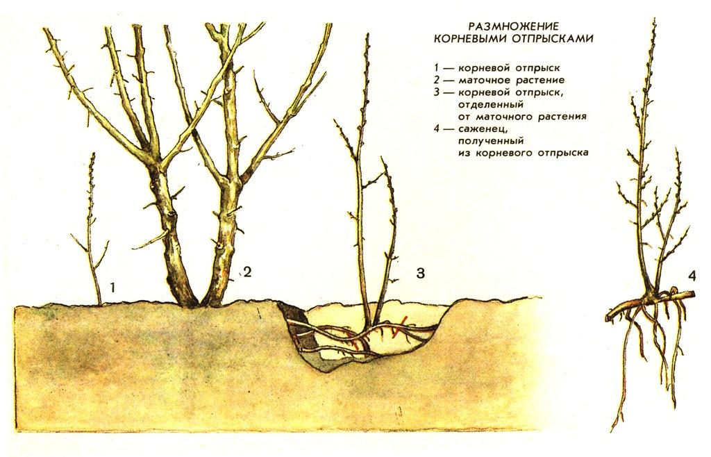 Размножение облепихи - отпрыскам, отводками, черенками, прививкой,семенами