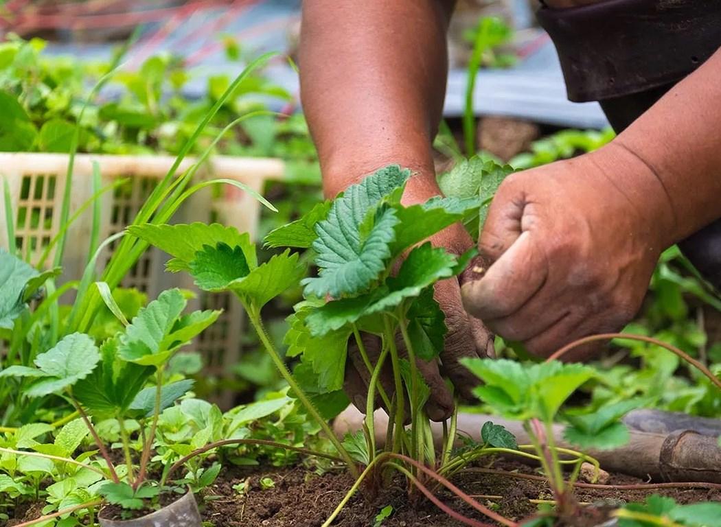Как вырастить кабачки в теплице: выбор сорта и особенности ухода