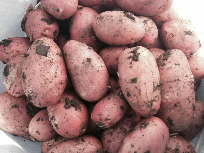 Картофель хозяюшка : описание сорта, фото, характеристика русский фермер