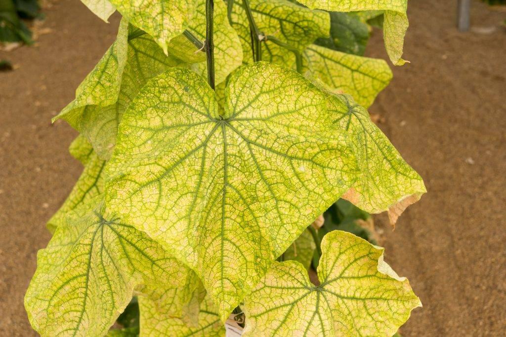 Что делать, если у огурцов желтеют листья, в том числе по краям, сохнут в теплице и открытом грунте