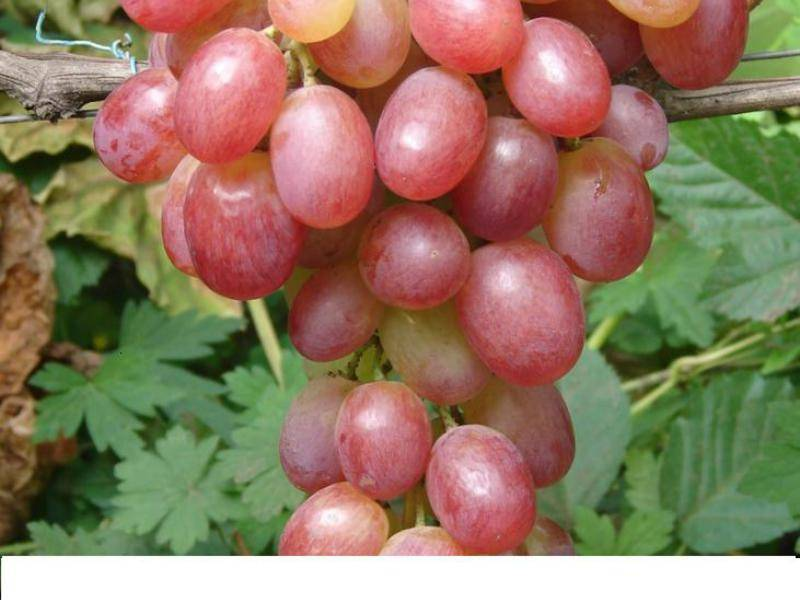 Виноград виктория: подробное описание и характеристики сорта, отзывы садоводов + правила посадки, ухода и обрезки