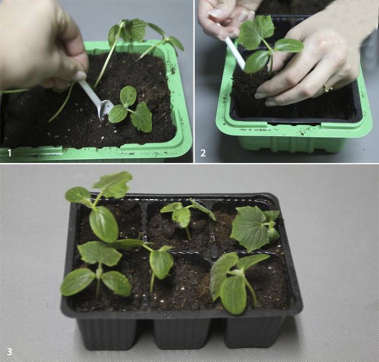 Как правильно посадить переросшую рассаду огурцов: пошаговая инструкция, особенности ухода